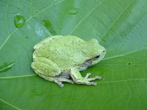 Northern Grey Treefrog Stock Photos