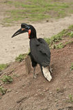 Northern Ground Hornbill Royalty Free Stock Photography