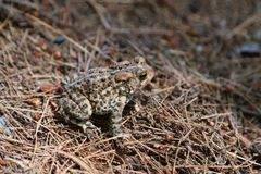 Northern ground toad on forest floor closeup. stock photos
