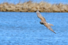 Northern Harrier stock image