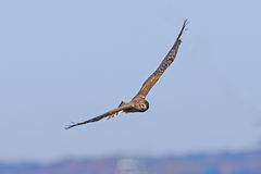Northern Harrier Royalty Free Stock Image