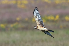 Northern Harrier Royalty Free Stock Images
