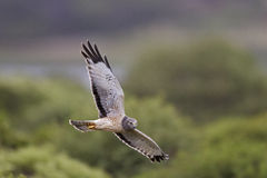 Northern harrier royalty free stock photos