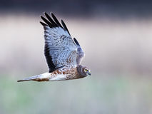 Northern Harrier aka Gray Ghost Royalty Free Stock Image