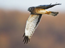 Northern Harrier aka Gray Ghost Royalty Free Stock Photos