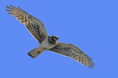 Northern Harrier (Circus cyaneus) female Royalty Free Stock Photography
