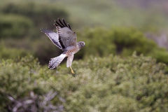 Northern harrier (Circus cyaneus hudsonius) Stock Photos
