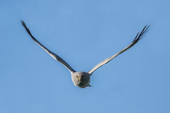 Northern Harrier Stock Photos