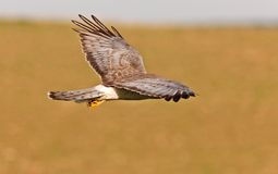 Northern Harrier in Flight. Saskatchewan Royalty Free Stock Photo