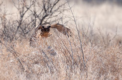 Northern harrier in flight Royalty Free Stock Photography