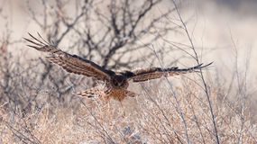 Northern harrier in flight Royalty Free Stock Images
