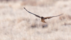 Northern harrier in flight Royalty Free Stock Photos
