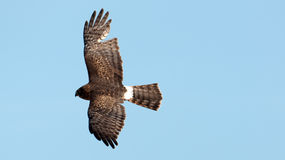 Northern harrier in flight Stock Photography