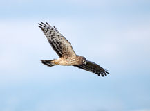 Northern Harrier in Flight, Marsh Hawk Stock Photos
