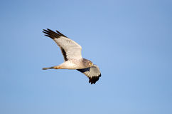 Northern Harrier in Flight, Marsh Hawk Stock Images