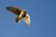 Northern Harrier Flying in a Blue Sky Stock Photo