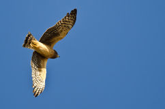 Northern Harrier Flying in a Blue Sky Royalty Free Stock Image