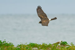 Northern Harrier Stock Photography