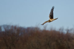 Northern Harrier Flying over the Marsh Stock Images