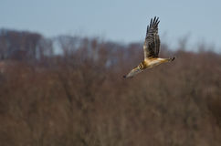 Northern Harrier Flying over the Marsh Royalty Free Stock Photo