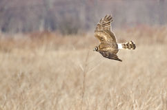 Northern Harrier Flying over the Marsh Royalty Free Stock Image