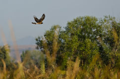 Northern Harrier Flying Over the Marsh Royalty Free Stock Photos