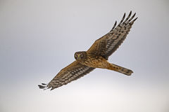 Northern Harrier Hawk in Flight Royalty Free Stock Photography