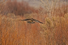 Northern Harrier Royalty Free Stock Photo