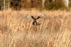 Northern Harrier Hunting Royalty Free Stock Images