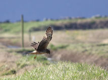 Northern Harrier Hunting Royalty Free Stock Image