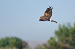 Northern Harrier Hunting on the Wing Royalty Free Stock Photos