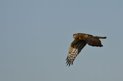 Northern Harrier Hunting on the Wing Royalty Free Stock Image