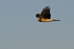 Northern Harrier Hunting on the Wing Stock Image