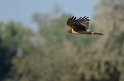 Northern Harrier Hunting on the Wing Stock Images