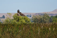 Northern Harrier Hunting on the Wing Stock Photos