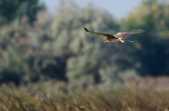 Northern Harrier Hunting on the Wing Stock Photography