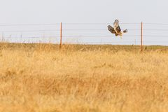 The Swoop. A Northern Harrier hunts for its meal within the grasses of the plains near Clinton, Oklahoma, January 2018 Stock Photo