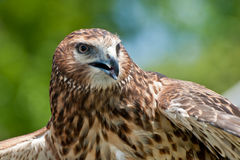 Northern Harrier Stock Images