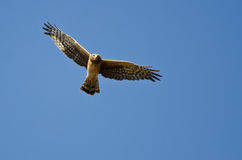 Northern Harrier Making Eye Contact As It Flys. In a Blue Sky stock photography