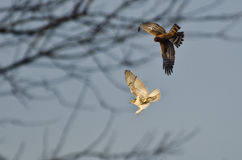 Northern Harrier and Red-Tailed Hawk in Combat Royalty Free Stock Images