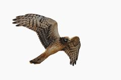 Northern Harrier is soaring into the air , isolated. A Northern Harrier is soaring into the air isolated on a white background Royalty Free Stock Photos