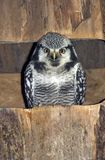Northern Hawk Owl Royalty Free Stock Images