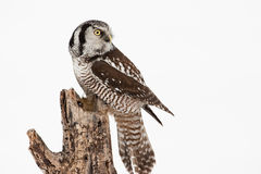 Northern Hawk Owl Stock Photos