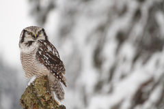Northern Hawk Owl Stock Photo
