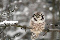 Northern Hawk Owl Royalty Free Stock Photo