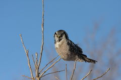 Northern Hawk owl Stock Image
