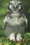 Northern hawk owl Stock Photo