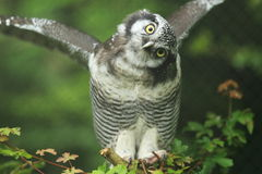 Northern hawk-owl Stock Images