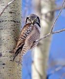 Northern Hawk-Owl Stock Image