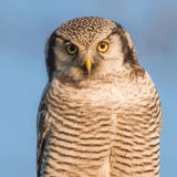 Northern hawk-owl. Close-up Stock Photo